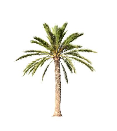 Big palmier isolé sur fond blanc Banque d'images - 41714699