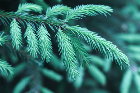 tonal: Spruce branch, macro photo with selective focus and blue tonal correction filter effect