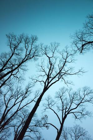 sky brunch: Leafless bare trees over dark blue sky background. Vertical natural background photo