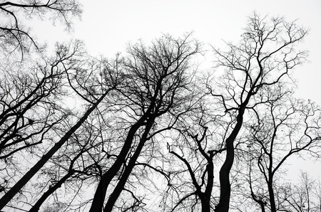 nature photo: Leafless bare trees over gray sky background. Black and white natural background photo Stock Photo