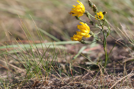 hieracium: Hieracium umbellatum L. Small yellow waving wildflowers under strong spring wind
