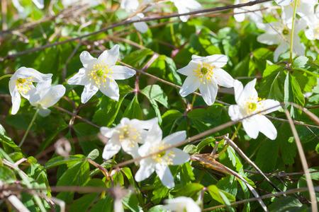anemones: Anemone nemorosa, or European wood anemones flowers in spring forest Stock Photo