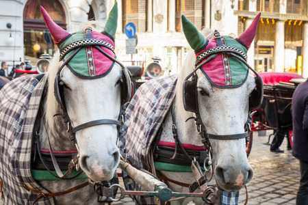 blinders: Two white horses harnessed to a carriage. Traditional touristic transport of Vienna, Austria