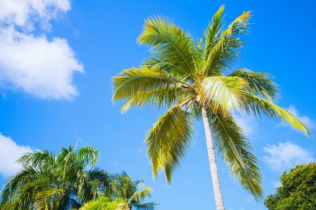 sunny: Coconut palm tree over bright blue cloudy sky