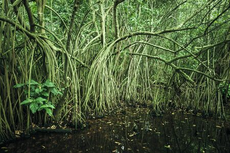 tonal: Wild tropical forest landscape, mangrove trees growing in the water. Green tonal correction photo filter effect