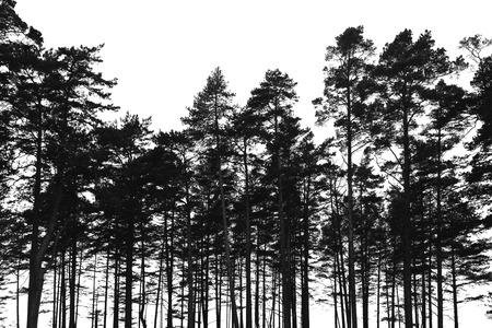 松林の木は白い背景に分離されました。写真の黒の様式化されたシルエット