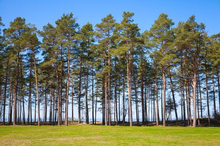 Pine trees grow on the coast of the Baltic Sea, Estonia, Narva Stock Photo