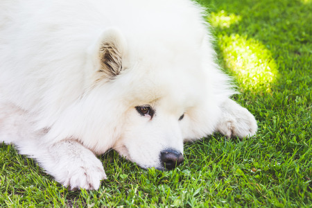 lays: White fluffy Samoyed dog lays on a green grass, closeup Stock Photo