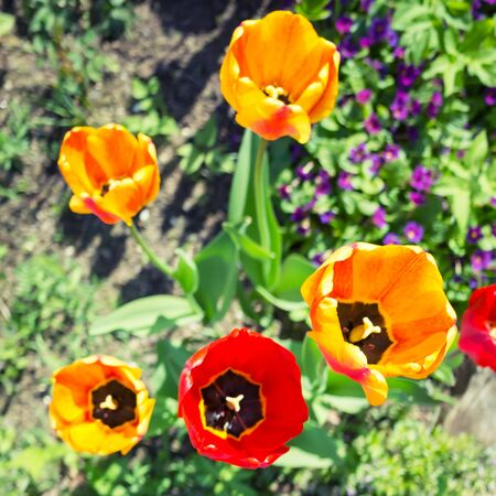 Colorful tulip flowers in spring garden, square top view photo with selective focus and tonal correction filter, old style Stock Photo