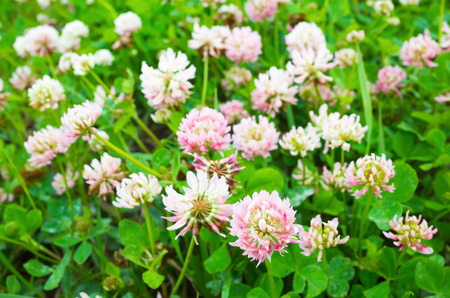 Wild white and pink clover flowers grow on summer meadow
