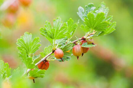 gooseberry bush: Fresh gooseberries on branches of gooseberry bush in summer garden, macro photo with selective focus Stock Photo