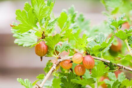 bush to grow up: Fresh red gooseberries on branches of gooseberry bush in summer garden