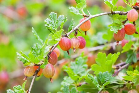 gooseberry bush: Red gooseberries on branches of gooseberry bush in summer garden