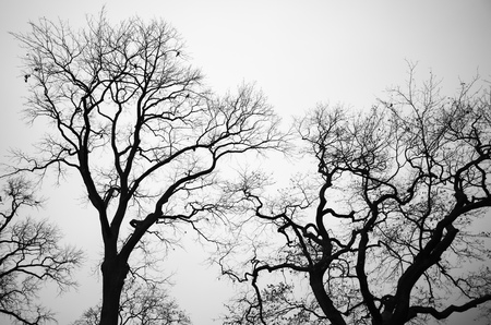sky brunch: Leafless bare trees over gray sky background. Monochrome background photo