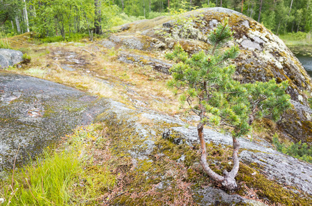 ladoga: Small pine tree and green grass grow on coastal rocks of Ladoga lake. North Russian landscape