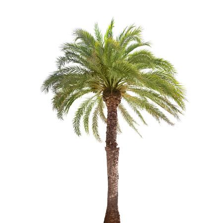 Palmier à date unique isolé sur fond blanc