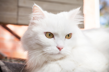 close up eyes: Close up portrait of white fluffy cat with yellow eyes Stock Photo