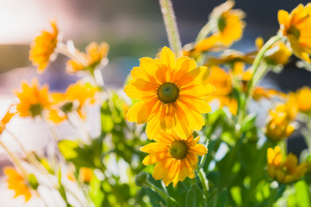 Rudbeckia nitida, bright yellow flowers in the sunlight. Close-up photo with selective focus