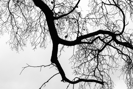 sky brunch: Leafless bare trees over gray sky background. Monochrome silhouette photo