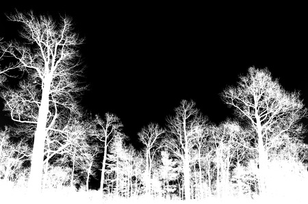 Leafless bare trees isolated on black background, white silhouettes photo