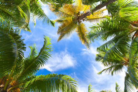 Coconut palm trees over bright sky background. Dominican Republic nature