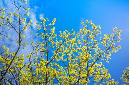 Blossoming linden branches with yellow flowers over bright blue sky background
