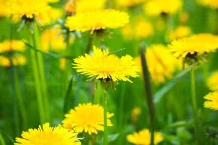 asteraceae: Bright yellow dandelion flowers grow on spring meadow. Macro photo with selective focus Stock Photo