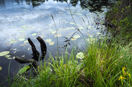 ladoga: lake coast with grass and dark snag in the water. Stock Photo