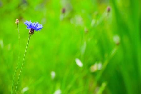 Cornflower. Centaurea cyanus. Blue flower grows on green summer meadow, closeup photo with soft selective focus