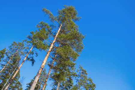 Tall pine trees over bright blue sky background. European forest in sunny day Stock Photo
