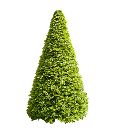 Decorative cone shaped bush isolated on white background