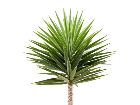 Green Yucca plant isolated on white background