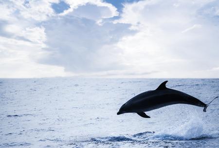 Common Dolphin jumping off, Atlantic Ocean near Madeira Island, Portugal