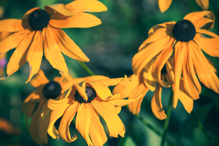 Yellow rudbeckia or Black Eyed Susan flowers in the garden, macro photo with selective focus and tonal filter correction Stock Photo