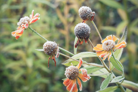 Early frosts. Helenium flowers covered with white frost, macro photo with selective focus