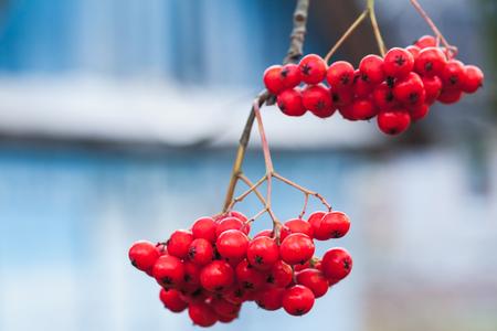 European rowan fruits, macro photo of red berries, selective focus