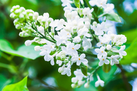 white lilac flowers macro photo selective focus flowering stock