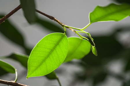 Fresh bright green leaves, close up photo with selective focus