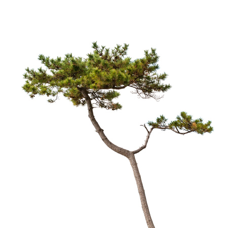 Pine tree isolated on white, natural photo