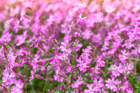Phlox subulata or Creeping Phlox. Pink flowers in spring garden. Close-up photo with selective focus.
