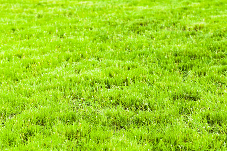 Bright green fresh grass background, macro photo with selective focus. Clipped lawn in summer sunny day Stock Photo