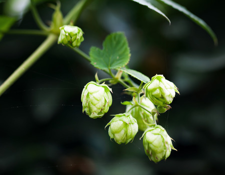Hop plant over blurred dark background. Humulus lupulus, close-up photo with selective focus