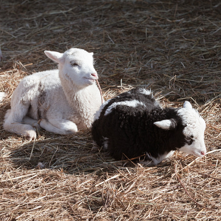 Black and white lambs are sitting in the hay, square photo