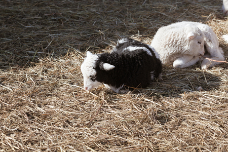 Two black and white lambs are sitting in the hay