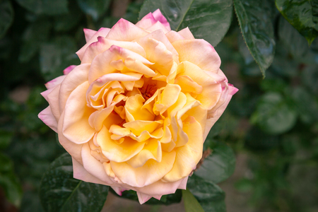 Yellow pink rose flower over dark garden background. Close-up photo with soft selective focus, top view