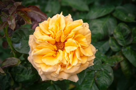 Yellow rose flower over dark garden background. Close-up photo with selective focus Stock Photo