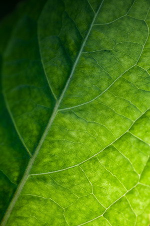 Nature green abstract background with bright leaf texture, back light vertical macro photo with selective soft focus