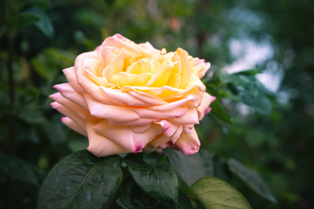 Yellow pink rose flower over dark garden background. Close-up photo with soft selective focus Zdjęcie Seryjne