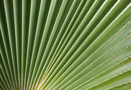 Palm leaf natural green background, macro photo with selective soft focus