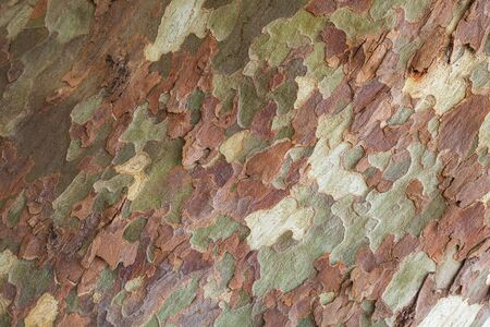 Patterned bark of London plane tree, natural background texture
